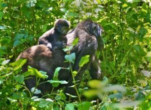 Gorilla and mum